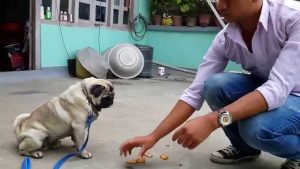 Pug training tips