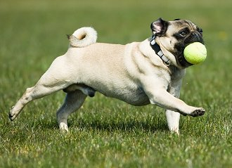 Playing with your pug