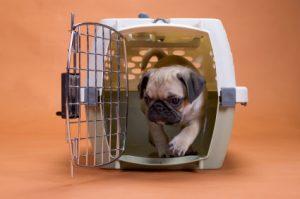 Pug care