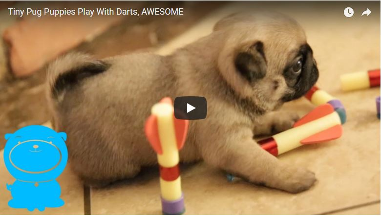 Pug Puppies Playing Video Pugs Fan Club