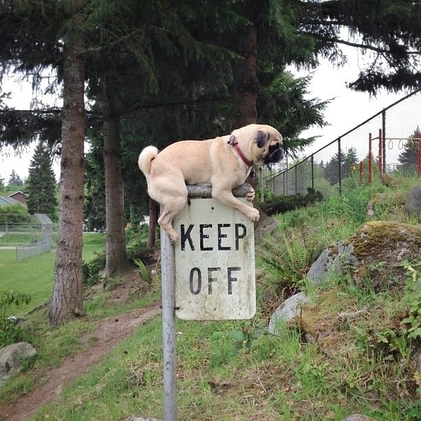 pug breaking rules