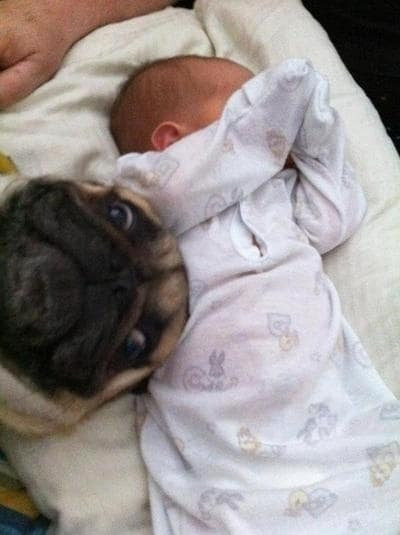 Pug steals the moment