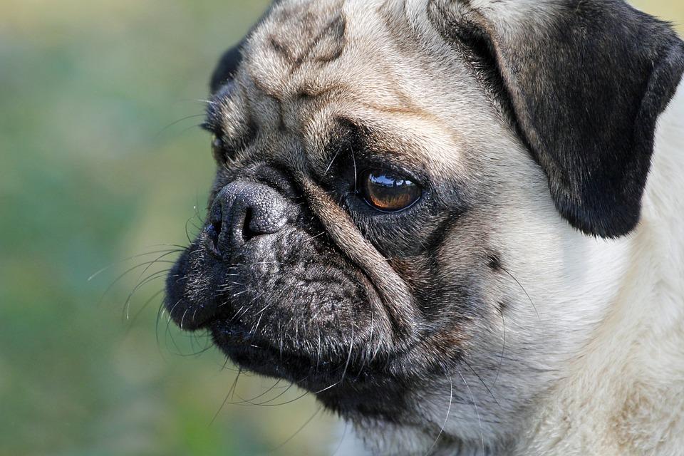 pensive pug
